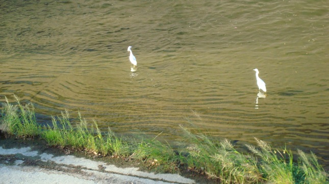 More birds on the river as it flows through Sherman Oaks