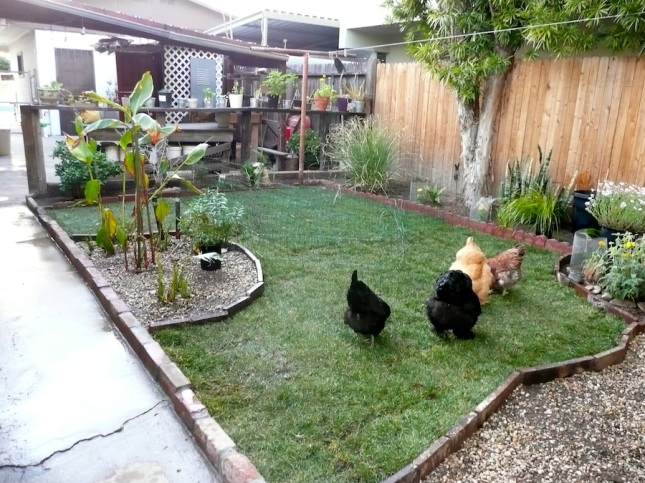Chickens roaming freely.