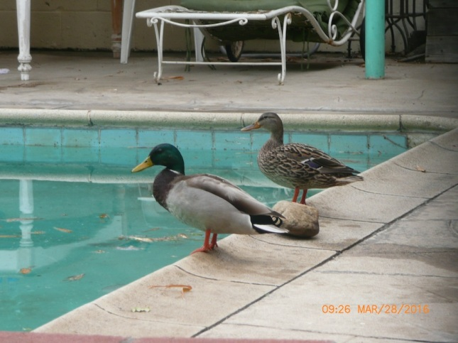 Ducks by the pool.
