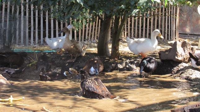 CUF 42 Ducks