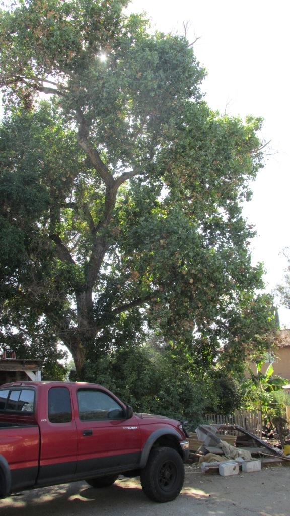 CUF 50 Cottonwood Vert